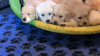 Golden Retriever puppies cuddle together on swing
