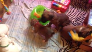 Phoenix Ridge Boxers, puppies playing