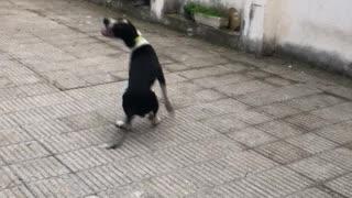 Black white dog jumping bubbles