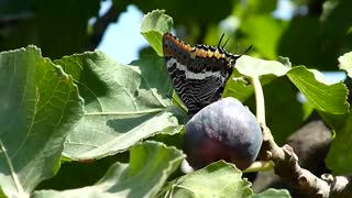 Beautiful butterfly that eats figs