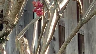 #Back Yard Birds Hawai'i Japanese White Eye (Mejiro)