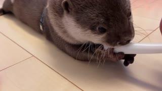 Otter walking like a baby. SUPER CUTE