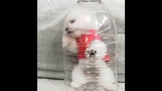 😍 Funny and Cute Pomeranian #3 😍 Perritos bebes lindos 🐱💗