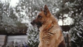 German shepherd in the snow.