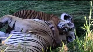 Tigers playing.