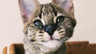 The cat talks strangely))