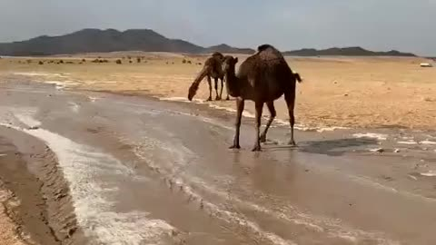 Camel in the water pool