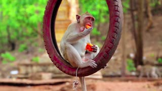 A little monkey eating and playing