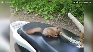 Esquilo pensa que é motociclista
