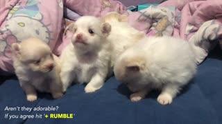 Cute Adorable Pomeranian Puppies