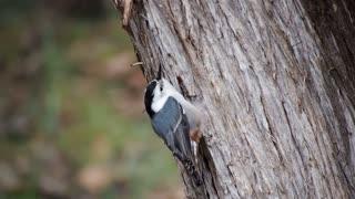 Little Bird climb Tree For Some Raw Food