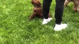 Golden Doodle Puppy Playing