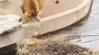 Lion Takes a Tumble (HD) #Short