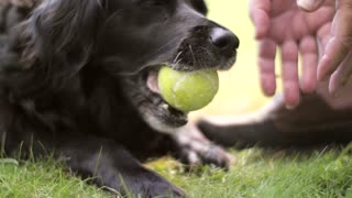 Dog Chewing Tennis Ball !