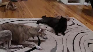 Let's play puppy verses cat