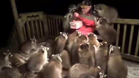 Racoon Man Feeds His Crew!