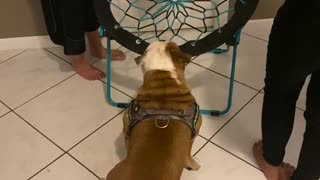 Louie the Bulldog Gets Stuck in Bungee Chair