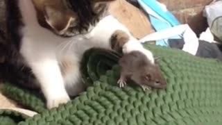 Brave Mouse or Cowardly Cat?