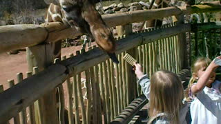 Cheyenne Mountain Zoo feeding Giraffes