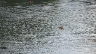 Утки на пруду.