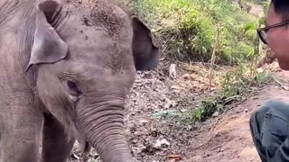 Elephant playing with dirt