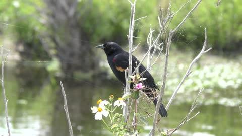Red-Winged Blackbird male singing in Florida wetland