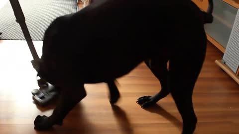 Dog hates vacuum, tries to kill it