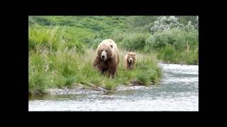 Kodiak brown bears hunting and playing