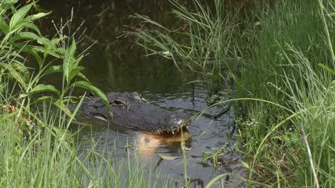 Alligator eating a large gar fish in a swamp