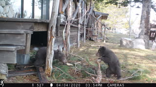Two Bear Cubs Wrestling