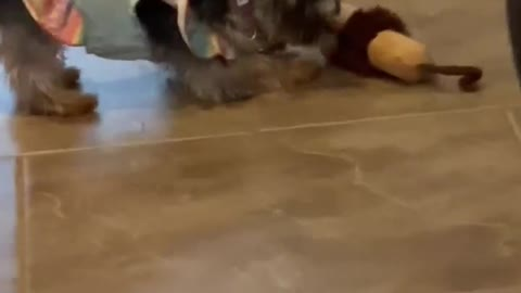 Tiny Yorkie dog unleashes her rage on a stuffed toy