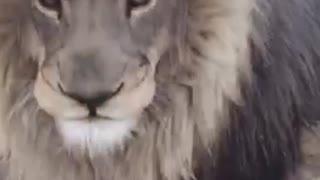 Smokey the Lion Takes Center Stage