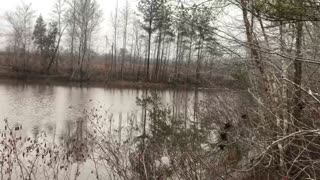 Giant otter swims across my pond
