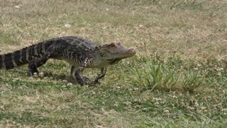 young alligator walks on the grass