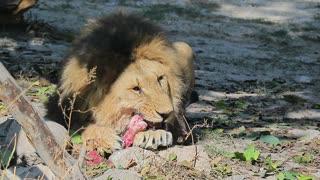 A lion eats prey