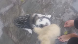 Husky wants her toy cat back!