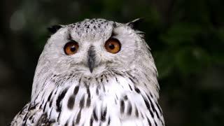 White owl@()