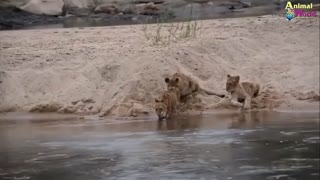 Lion King Fear of Death deer, buffalo, elephant- Attractive mating rescue recorded