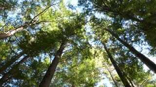 Forest Trees Sky Footage