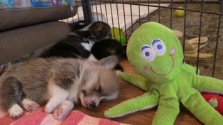 Dog Corgi Puppy Welsh Pet Corgi Pembroke Animal Sleeping It's funny.