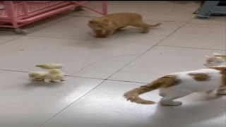A cat playing with chicks