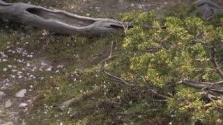 Verdier de Chine (Chloris sinica minor) Oriental Greenfinch