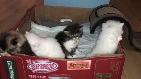 Very Cute Persian kittens