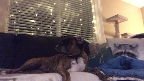 Boxer dog demands belly rubs