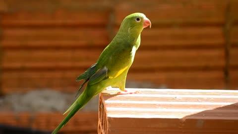 Parrot A Brazilian bird.