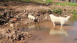Puppies in awe of their grandmother's wading abilities.