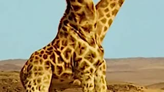 Giraffe fight with each other