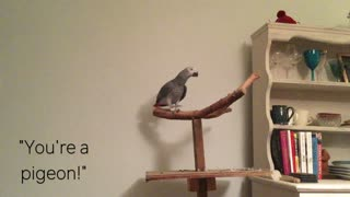 Parrot argues with owner about pigeon accusations