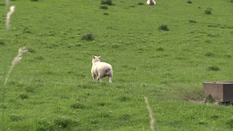 Trolling a sheep's funny epic reaction