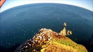 Gannets courting & preening Gannet colony